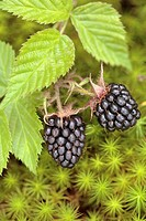 Two ripe blackberries growing on the bush in a forest