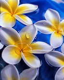 Plumeria or frangipani flowers in a water with water drops
