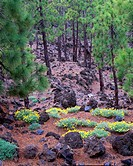 Endemic Pine trees (Pinus Canariensis)growing on Teide volacano fertile volcanic soils. Teide National Park, Tenerife, Canary islands, Spain