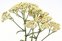 Yarrow Achillea millefolium