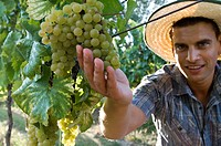 Young man in vineyard holding white grapes (thumbnail)