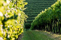 Vineyard rows (thumbnail)