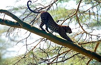 Leopard on a Branch