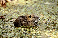Muskrat In the Muddy Water