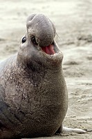 Northern Elephant Seal Roaring