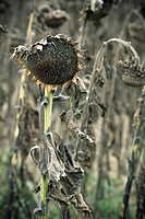 Close_up of dead Sunflowers Helianthus annuus