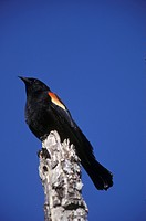 Red Winged Blackbird, Agelaius Pheniceus, Thompson Okanagan, British Columbia, Canada