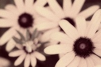 Close_up of daisy flowers