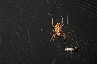 Spider with fly caught in web
