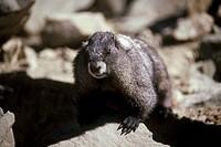 Hoary Marmot, British Columbia, Canada