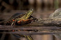 Western Painted Turtle, Chrysemys picta, Thompson Okanagan, British Columbia, Canada