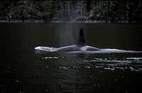 Orca, Killer Whales, Johnstone Straight, British Columbia, Canada