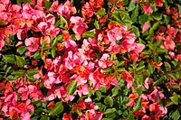 Close_up of a bush of flowers