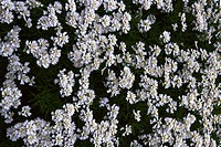 High angle view of white flowers growing in a garden