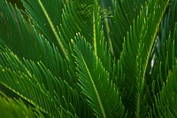 Close_up of the fronds of a plant