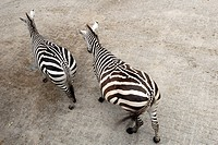High angle view of two zebras walking