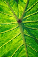 Hawaii, Maui, Close_up of Taro Leaf.