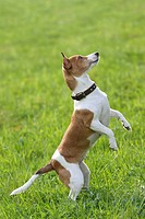 Jack Russell Terrier dog _ begging