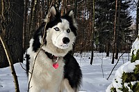The Siberian Husky is a medium-size, dense-coat working dog breed that originated in eastern Siberia The breed belongs to the Spitz genetic family It ...