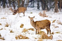 Red Deer (Cervus elaphus).