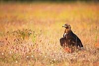 Iberian Imperial Eagle. Aquila adalberti.