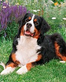 Bernese Mountain Dog: type of breed
