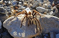 Desert tarantula scampering across rocks, Panamint Mountains, California, USA