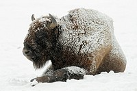 European Bison, Bison bonasus, bull, covered in snow, Germany