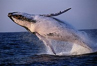 Breaching Humpback whale, Soouth Arfica, Africa