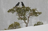 Two Common raven sitting on a snowy tree, Corvus corax, Scandinavia, Europe