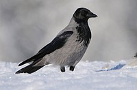 Hooded crow in winter, Corvus corone corone, Scandinavia, Europe