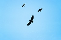 White_tailed Sea Eagle & Raven , Haliaeetus albicilla, and, Corvus corax