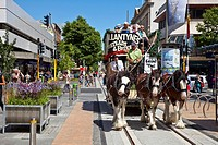 Clydesdale horses pull antique tram, Christchurch, canterbury, New Zealand.