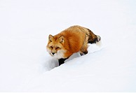 Red fox Vulpes vulpes walking through the snow, Bavaria, Germany, elevated view