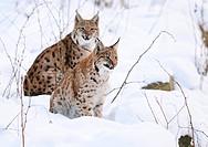 Two carpathian lynx Lynx lynx carpathicus in snow, Bavarian Forest National Park, Germany