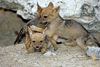 Black_backed jackal cubs Canis mesomelas playing, Etosha National Park, Namibia