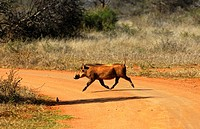 Warthog, Phacochoerus africanus, running across a dirt road, Madikwe Game Reserve, South Africa
