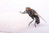 marbled grey flesh fly Sarcophaga carnaria on a sugar cube