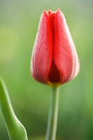 Blossoming one red tulip