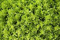Oregano Origanum vulgare var.compactum