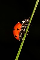 Climbing ladybird