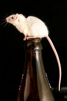 white mouse on a beer bottle
