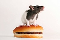 Rats on a hamburger