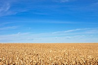 corn field to the horizon and blue sky