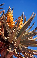 Variety of aloe,Namibia