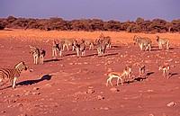 Burchell zebras, springboks, Etosha park, Namibia