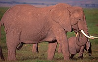 Elephants,Kenya