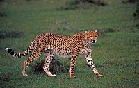 Cheetah, Kenya