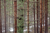 German Forest in Winter