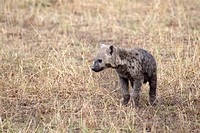 A spotted hyena cub near a den on the plains of the Masai Mara